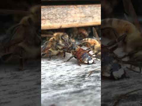 Unas abejas limpian cuidadosamente a una compañera que se cayó a un depósito de miel