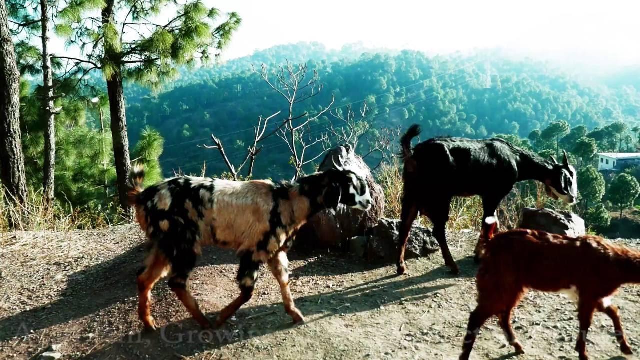 Himachali Goats,India Himachal Pradesh ki bakriya Indian Goat Shimla हिमाचल  प्रदेश की बकरी,भारत
