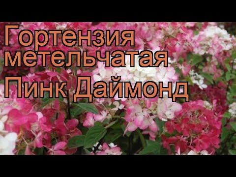 Гортензия метельчатая Пинк Даймонд 🌿 обзор: как сажать, саженцы гортензии Пинк Даймонд