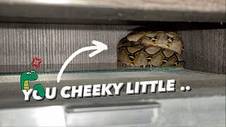 Wild SNAKE Chillin' on my TARANTULA's CAGE !!! ~ [First, Rat.. now Snake] !!!