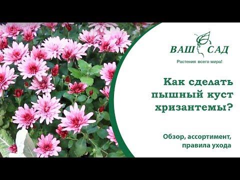 Вопрос: Почему осыпаются хризантемы?