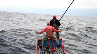 台灣東部海域鮪旗魚類標識放流(新港漁船-龍漁發)_tagging on billfish_blue marlin_east coastTaiwan