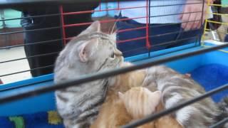 город липецк-выставка кошек