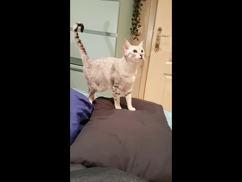 Egyptian Mau Cat wants her toy now!