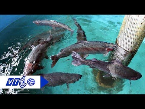 Thực hư cá hồi nuôi nhiễm chất gây ung thư? | VTC
