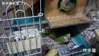 和尚鸚鵡學說話