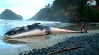 Endangered Fin Whale beached in Florence Oregon 2009