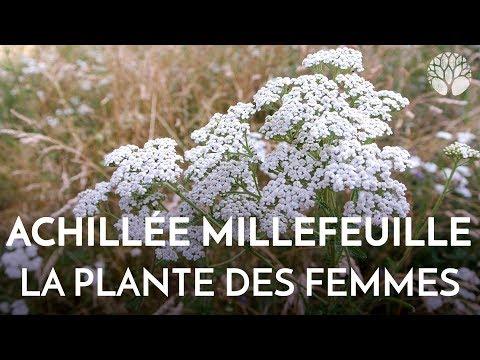 Propriétés de l'achillée millefeuille, plante des femmes