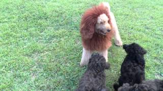 Medium Poodle Pups Vs Lion