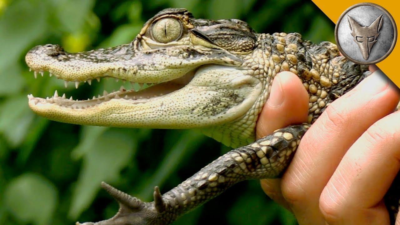 Danger Of Baby Alligators As Pets Youtube