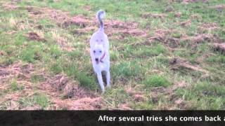 Sight Hound Off Lead Or Leash Training - Part 2
