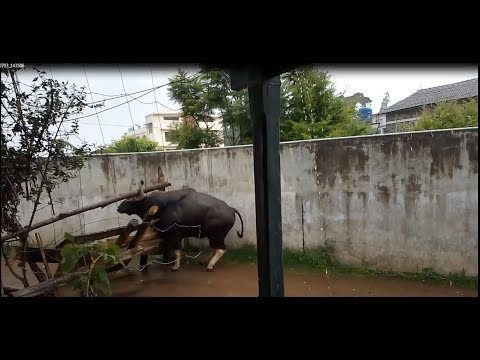 Bison Attack In Kodaikanal / Bison Walk And Attack / Indian Gaur/ Bison Killing 5 People's