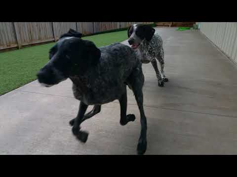 Two German Shorthaired Pointer Dogs Running and playing