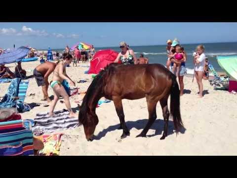 Assateague Island Maryland Wild Horses   Ponies terrorizing tourists