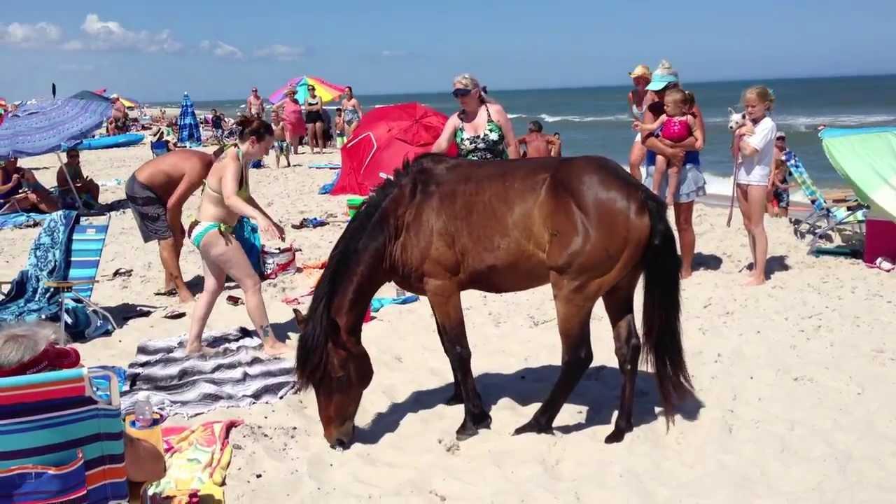Ateague Island Maryland Wild Horses Ponies Terrorizing Tourists