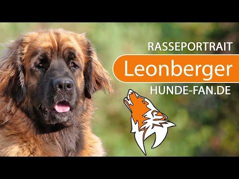 Leonberger [2018] Rasse, Aussehen & Charakter
