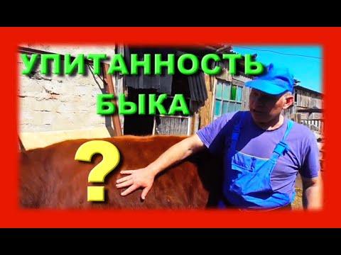 Как определить вес быка без весов с помощью линейки Бажениты