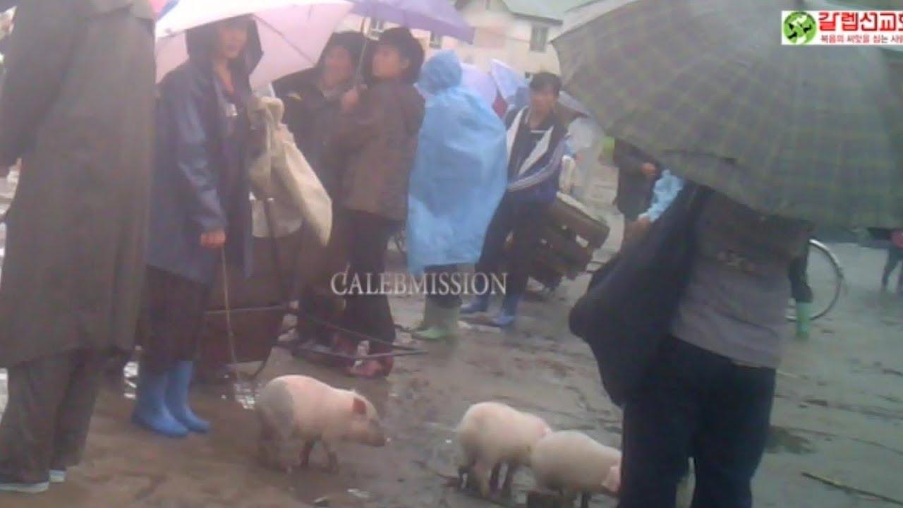 (북한실제영상) 비가 멈출수없는 장마당에도 유일하게 인기! 새끼돼지