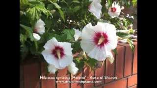 Hibiscus syriacus 'Helene' - Rose of Sharon