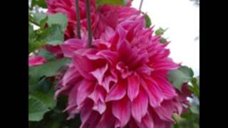 film fleurs roses