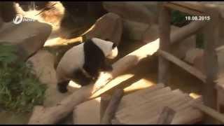 Panda Liang Liang Selamat Lahirkan Anak Di Zoo Negara