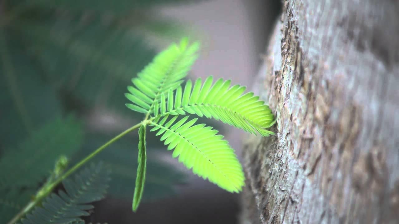 A mimosa pudica féreghajtó aktivitása. Fagyöngy férgek számára. Fagyöngy parazita, Tartalomjegyzék