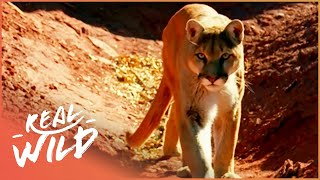 Lion of the Americas [Mountain Lion Documentary]  | Wild Things