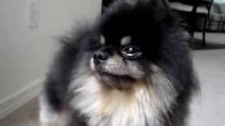 Dijon The Black Pomeranian