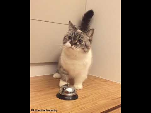 Cat trained hooman to give food at sound of bell
