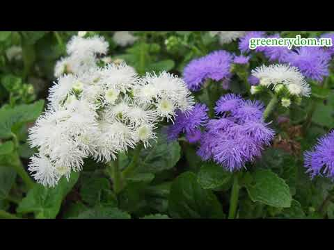 Агератум - посадка и уход в открытом грунте ч. 1 (выращивание из семян)