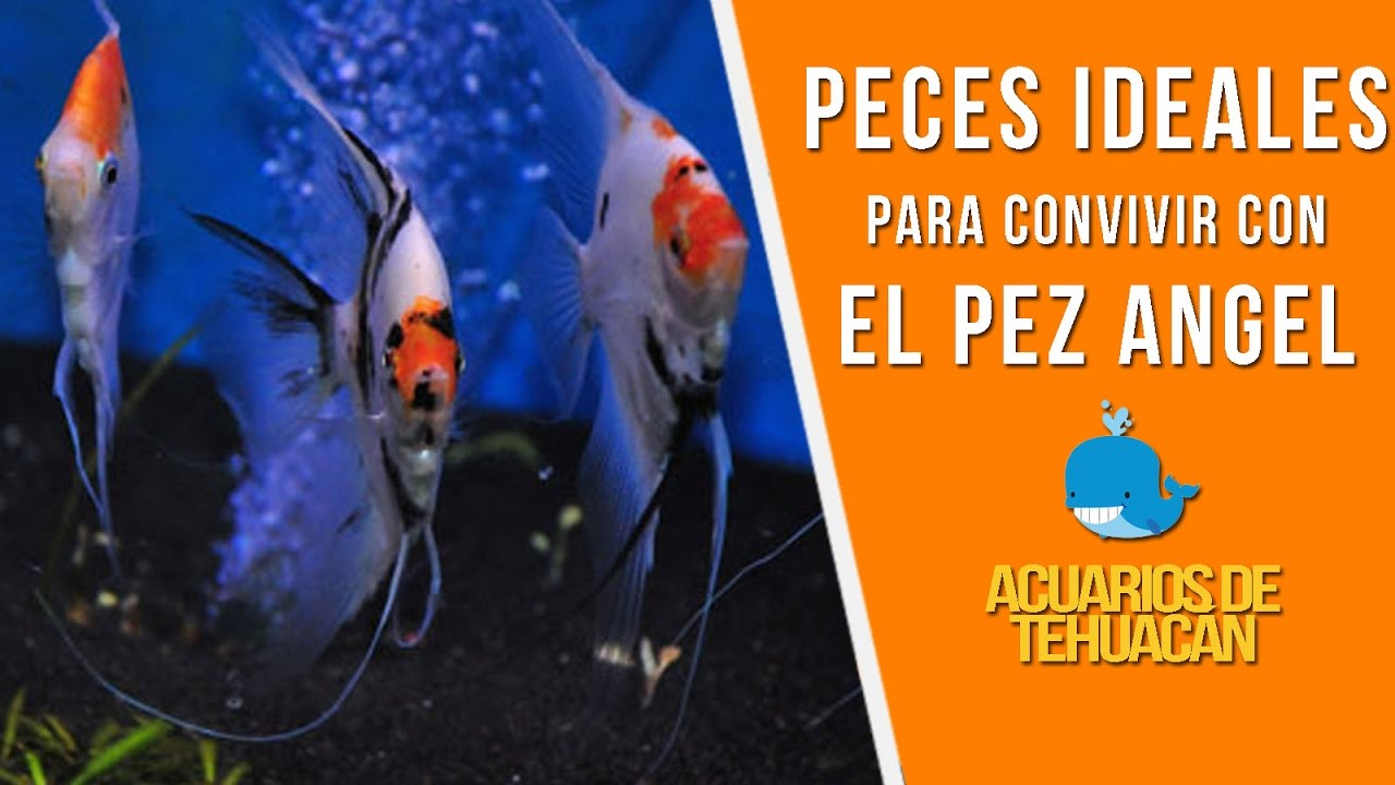 Peces compatibles con el pez ngel escalar youtube for Peces artificiales para acuarios