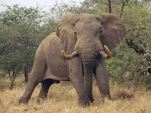 AFRICAN ELEPHANT ATTACKS & KILLS TOURIST