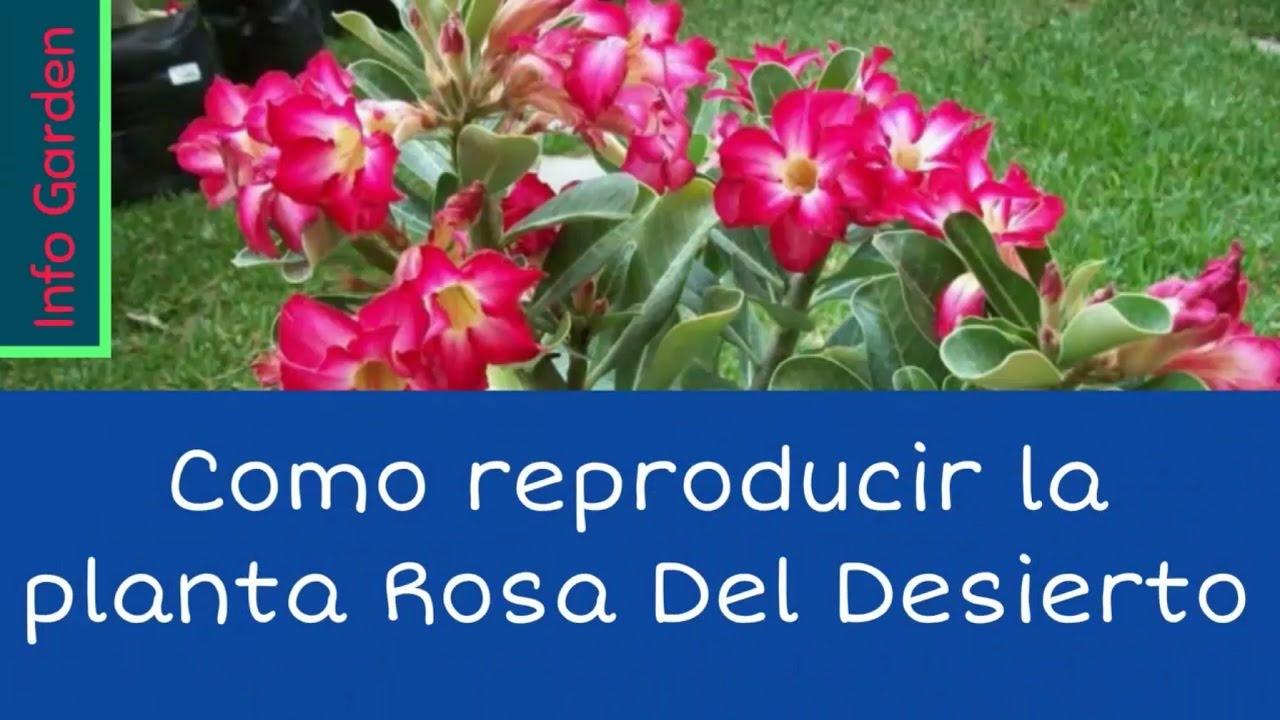 Como reproducir la planta rosa del desierto y su cuidado for Como se planta la lavanda