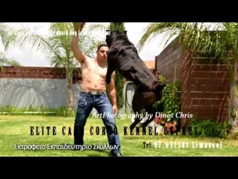 Elite Cane Corso Kennel - Training Show