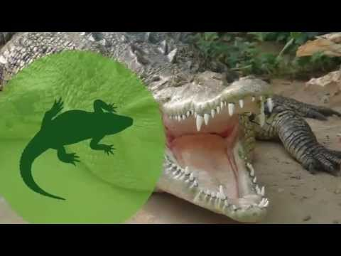 Why Do American Alligators Attack People but American Crocodiles Don't?