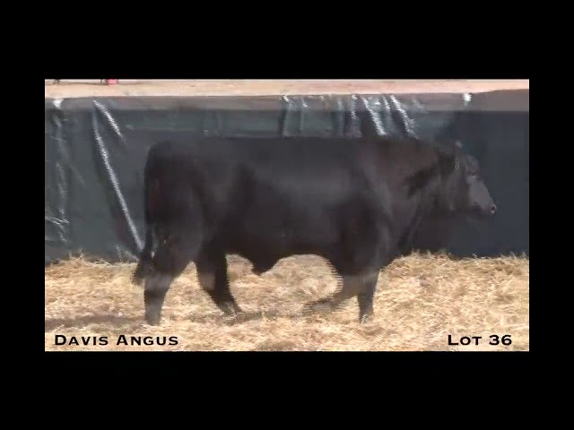 Davis Angus Lot 36
