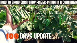 How To Grow Okra/Lady Finger/Bhindi in Pot (With 100 Days Update)