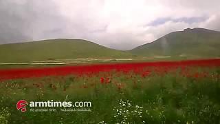 Վայրի կակաչների անծայրածիր դաշտեր Լոռու մարզում
