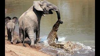 Fil Ve Timsahın Dövüşü