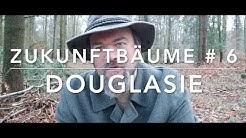 Douglasie - Zukunftsbäume # 6