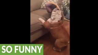 ブルドッグがソファに登ろうとすると…タップダンスになる(動画)