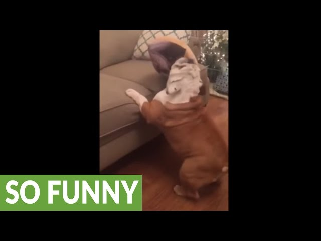 """Tap dancing"" bulldog struggles to jump on couch"