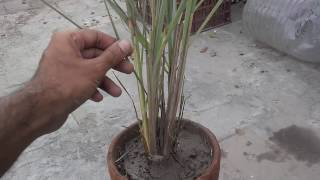 How To Grow Lemongrass | Benefits Of Lemongrass Tea (urdu/hindi)