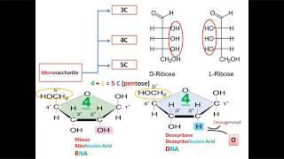 S01E06 Monosaccharides with  mnemonics