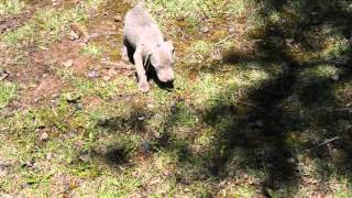Akc Weimaraner Puppies Chappell's Sakura **first Litter** 4.5 Weeks Old