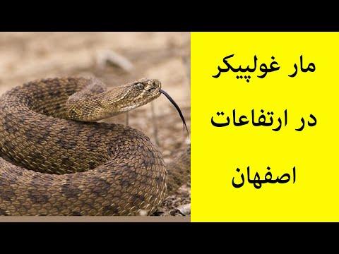 مار غول پیکر در ارتفاعات اصفهان thumbnail