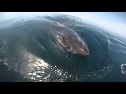 Huge Great White Shark...