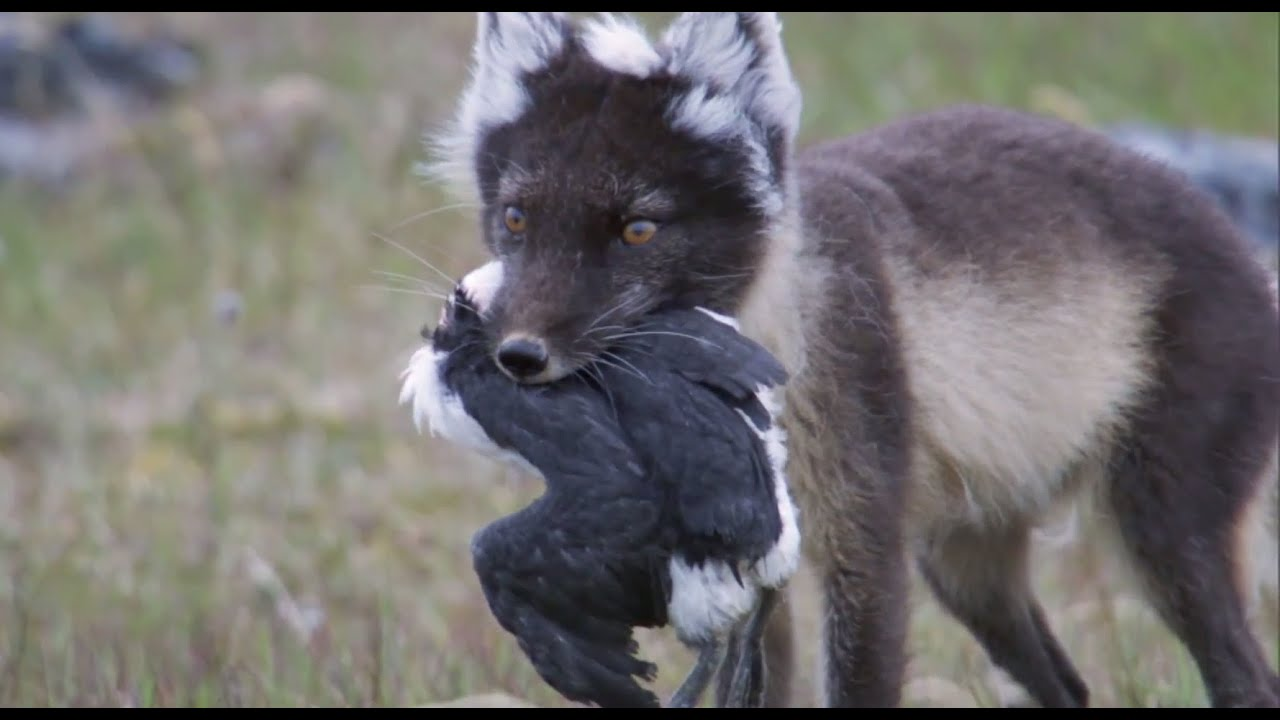 Fox Feasts On Baby Guillemots Nature S Great Events