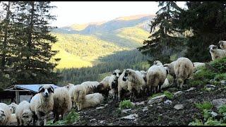 Stână turistică a dl. Grecu din Borșa de pe Pusdrele Mici | 700 de oi si 30 de vaci  - video 2020