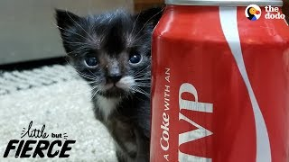 Littlest Kitten Ever Grows Up To Be A Mini Cat   The Dodo Little But Fierce